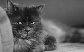 Picture black and white, Cat, Murka