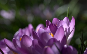 Picture macro, flowers, focus, spring, petals, purple, lilac, Crocuses, saffron