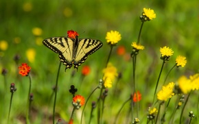Picture flowers, butterfly, bokeh, Papilio Glaucus