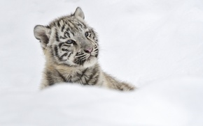 Picture winter, snow, kitty, Tiger