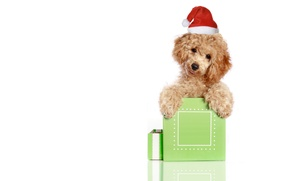Picture animals, red, green, holiday, box, gift, new year, Christmas, white background, Santa, poodle, cap, Wallpaper …