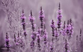 Picture field, flowers, meadow, lavender