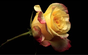 Picture black background, yellow rose, drops
