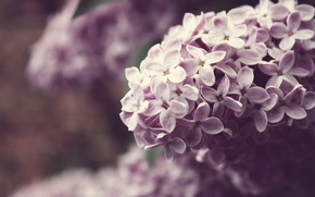 Picture macro, flowers, nature, color, plants, branch, spring, lilac