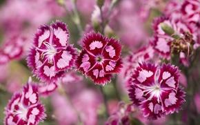 Wallpaper Purple, Carnation, Pink, Plants