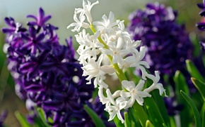 Wallpaper white, purple, macro, hyacinth