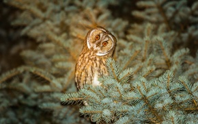 Picture branches, nature, tree, owl, bird, spruce