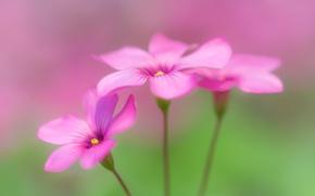 Picture flowers, oxalis, wood sorrel