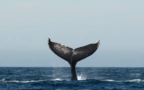 Picture pacific ocean, sea, whale, fluke, humpback whale