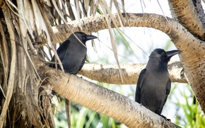 Picture branch, kingfisher, Crow, beak, thanujan, thanujan thanabalasingam, thanujan_t, thanujan13