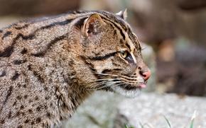 Picture wild cat, cat-fisherman, Fishing cat