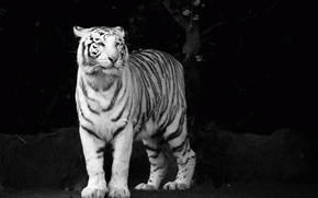 Picture white, look, face, tiger, predator, b/W, tiger, black and white Wallpaper