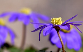 Picture flower, purple, petals, Sunny, anemone