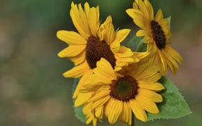 Picture background, sunflower, family, Trinity