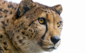 Picture cat, look, face, Cheetah, ©Tambako The Jaguar