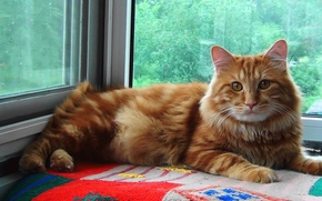 Picture Cat, red, SIBERIA, Kurilian Bobtail, Timka