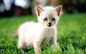Picture cat, white, grass, cat, macro, kitty, cat
