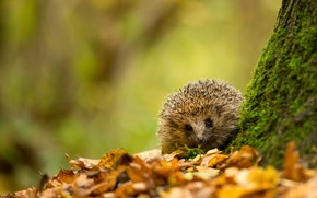 Picture autumn, leaves, tree, animal, foliage, moss, yellow, Hedgehog