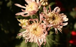 Picture pink, autumn, chrysanthemum, bunch, chrysanthemums