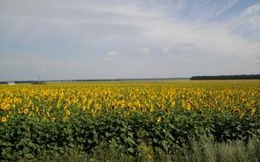 Picture field, summer, the sun, sunflower