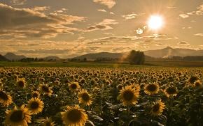Wallpaper summer, the sky, sunflowers