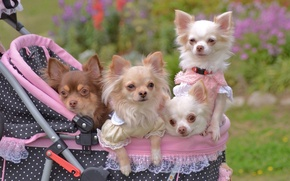 Picture stroller, walk, Chihuahua