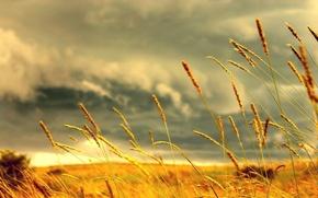 Wallpaper grass, yellow, colossus