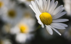 Picture flowers, background, Wallpaper, chamomile, blur, Daisy, wallpaper, flowers, widescreen, flowers, background, full screen, HD wallpapers, ...