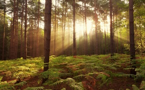 Picture forest, rays, trees, fern