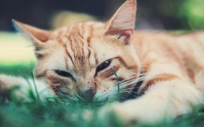 Picture eyes, cat, blur, Tomcat