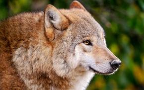 Picture wolf, predator, medic
