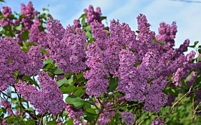 Picture flowers, nature, spring, Lilac, flowering, nature, flowers, spring, flowering