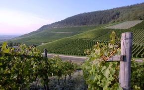 Picture wine, Grapes, plantation