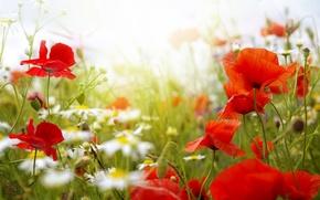 Picture field, nature, Maki, petals, meadow