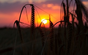 Picture wheat, field, the sun, macro, sunset, background, widescreen, Wallpaper, rye, the evening, spikelets, wallpaper, ears, …
