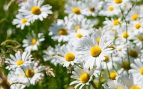 Picture white, chamomile, petals