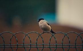 Picture background, bird, wire, bullfinch