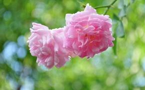 Picture rose, branch, Cetinje