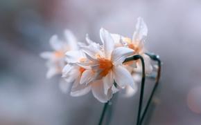 Wallpaper blur, Daffodils, drops