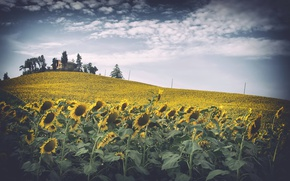 Picture field, sunflowers, house