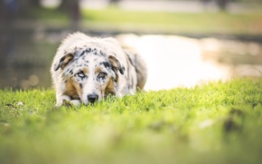 Picture greens, nature, dog, spring, meadow, pond, Wallpaper from lolita777, Aussie