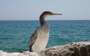 Picture sea, bird, Spain
