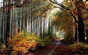 Picture autumn, forest, leaves, trail, forest, grove, trees, Autumn, leaves