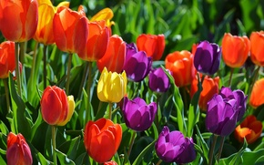 Wallpaper buds, the sun, summer, yellow, leaves, tulips, purple, red, colorful