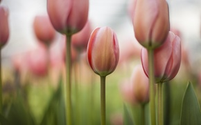 Picture field, flowers, focus, spring, tulips, pink