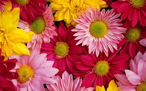 Picture bright, colorful, chrysanthemum