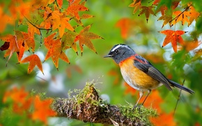 Picture autumn, leaves, macro, bird, moss, branch, photographer, Taiwan, maple, bokeh, Robin, FuYi Chen, Collared Bush-Robin, …