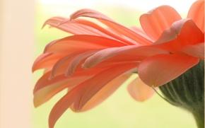 Picture gerbera, petals, flower, plant