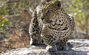 Wallpaper cat, predator, leopard