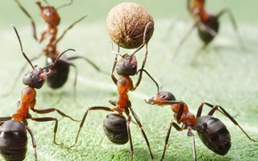 Picture field, macro, insects, the game, the ball, the situation, ants, basketball, Wallpaper from lolita777